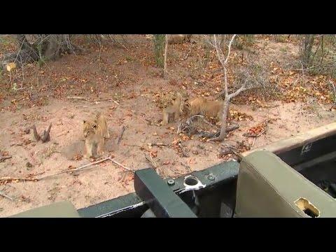Part 1 Wild Earth Live Safari Drive at 6:00 AM Aug 17, 2016 ( Nkuhuma Lioness & 3 Cubs )