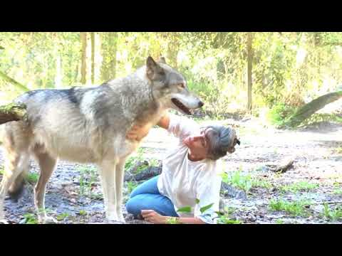 An inside look at Big Oak Wolf Sanctuary. 2016