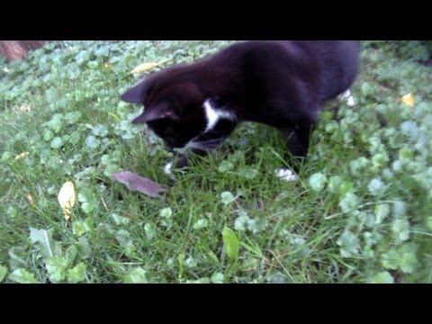 Mother cat teaches her kittens to hunt