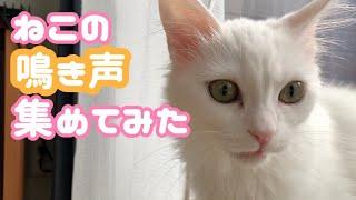 【ASMR】メス猫の鳴き声を集めてみた!