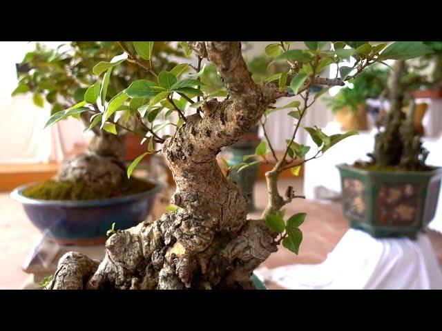 Toàn bộ cây cảnh trưng bày có giá tiền ntn, sanh nam điền, tùng la hán, khế, duối, đơn, sung. Bonsai