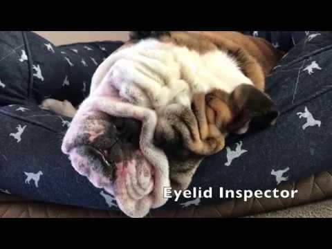 reuben-the-bulldog-hard-working-dog