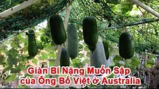 Giàn Bí Nặng Muốn Sập của Ông Bố Việt ở Australia