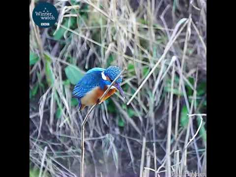 Winter Watch By BBC.  Kingfisher