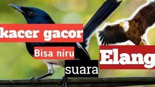 Kicau kacer niru suara burung elang