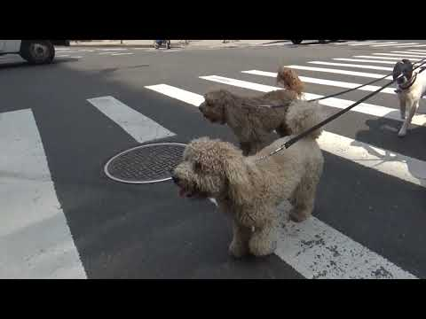 Dog Walker NYC West Village 2 Hour Group Walks For Small Dogs The K-9 Club