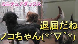 【ミニチュアダックス】今日は退屈だね(*´ω`*)