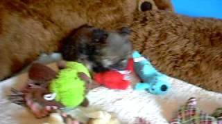 Shorkie Shorkie Puppies Cutest Puppies Www.pricelesspups.net