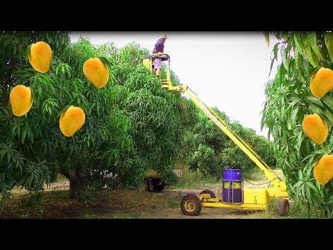 How to Mango Picking - Mango Harvesting - Awesome Mango Farm Agriculture Technology Machine 2018