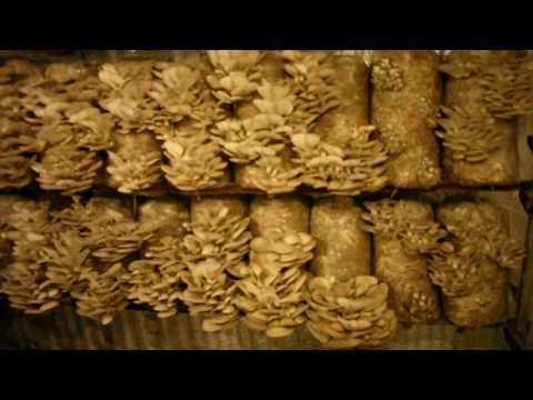 какой влажности должен быть субстрат для грибов вешенка