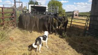 Loading cattle into trailer with Satus Brute