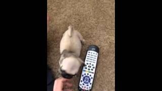 Micro Teacup Pug For Sale
