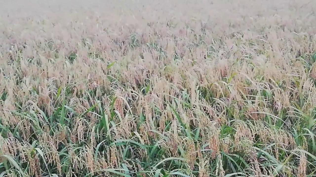 TUYỆT ĐẸP Cánh đồng lúa quê chín vàng sắp vào vụ gặt Sắc Màu Cuộc Sống