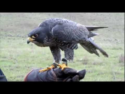 Gyrperegrine Falconry