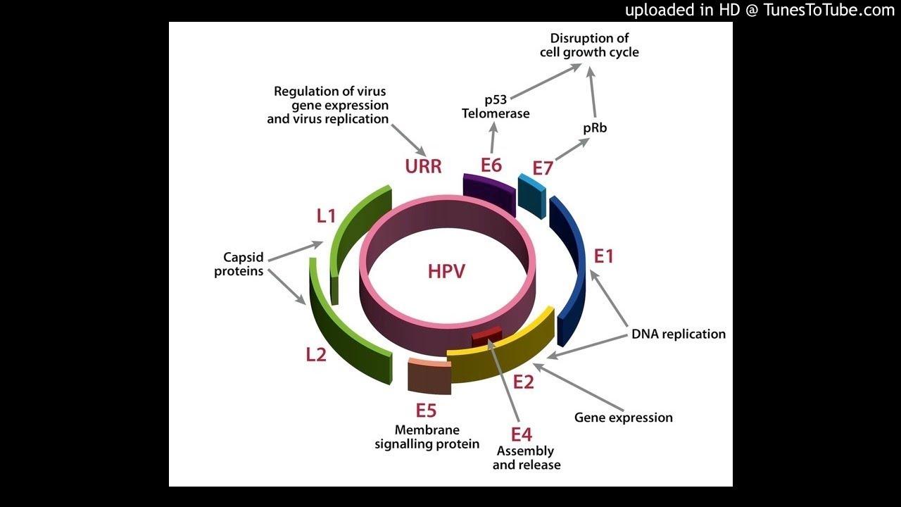 HPV (Papiloma Virus Uman) E6/E7 ARNm | Synevo, Human papillomavirus e6/e7 mrna