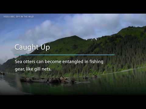 Sea Otter Threats | Ocean Wise