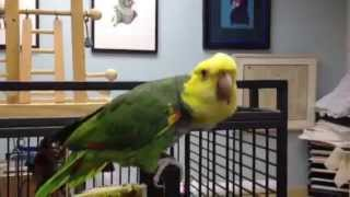 Bella, DYH Amazon parrot up for adoption