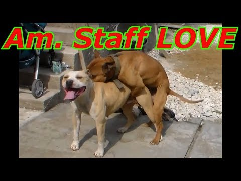 A dog's wedding Am. Stuff    Собачья свадьба  Американский Стаффордширский терьер  Бойцовая собака