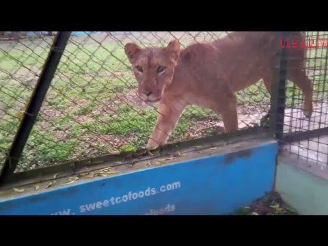 LION TRYING TO HUNT HUMAN AT ZOO IN IBADAN