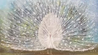 White Peacock Acrylic Painting Tutorial LIVE thumbnail