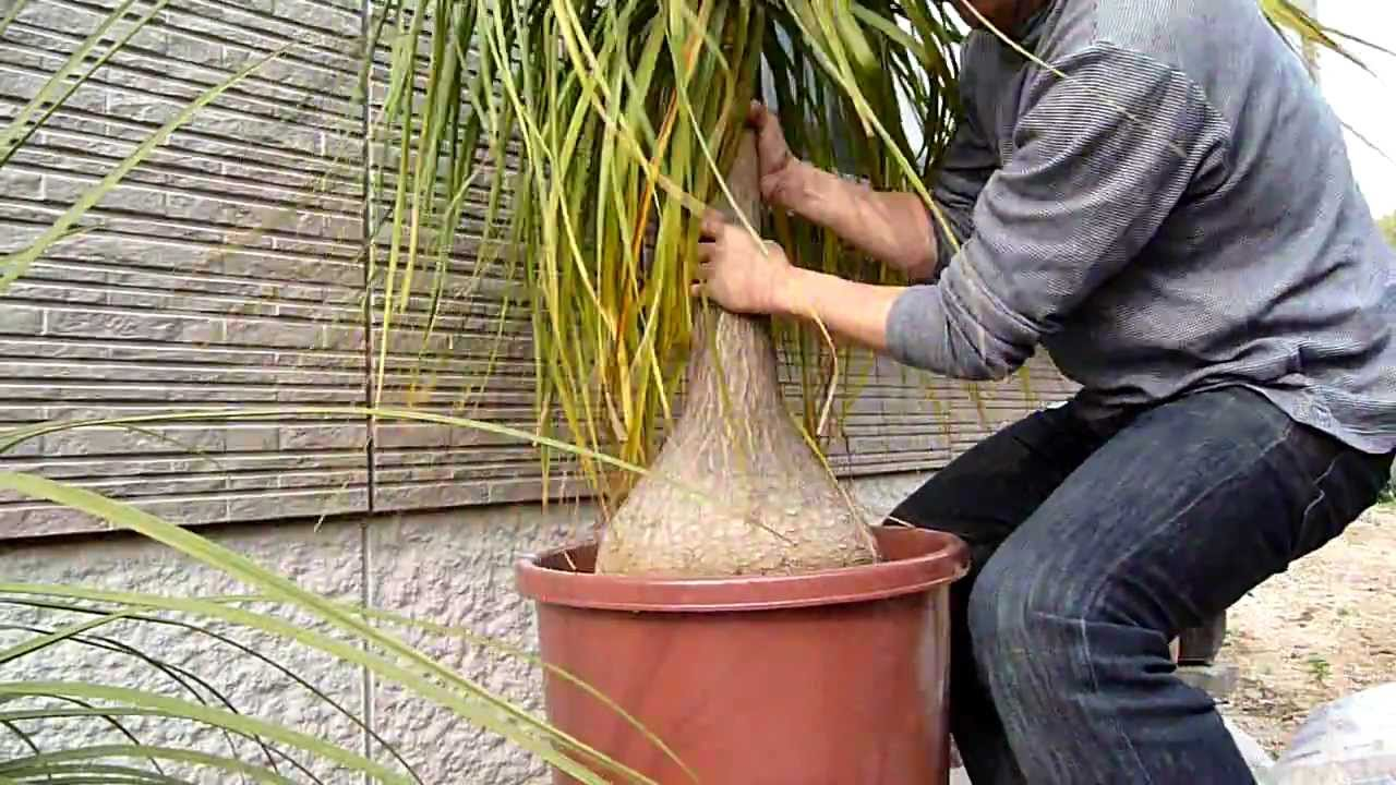 How To Repot Beaucarnea Recurvata 6 8 Spring 2011 Youtube