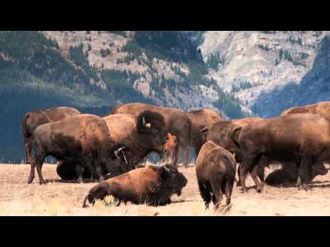 Return of the Bison:  A Conservation Biology Perspective
