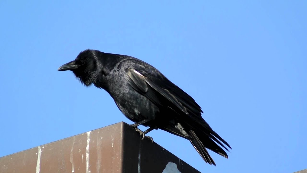 Fish crow youtube for Fish crow call