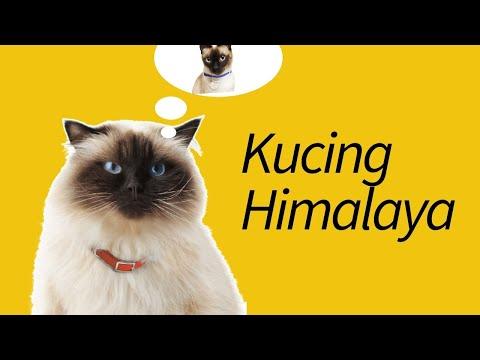 Cara Merawat Kucing Persia Untuk Pemula. Dan biayanya..
