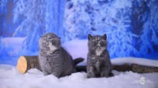 Продажа котят  Шотландские вислоухие котята, Шотландские прямоухие котята