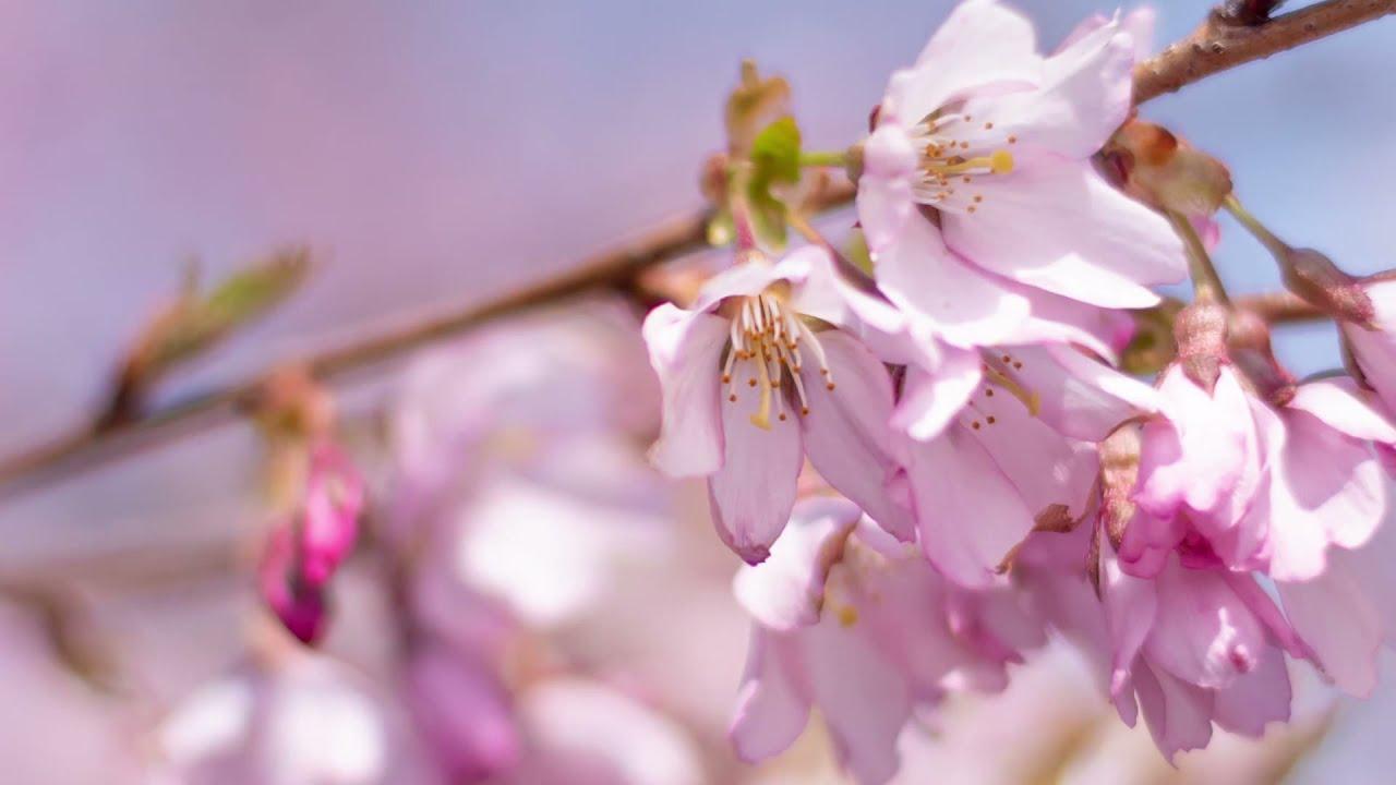 Jackson Park Cherry Blossoms Chicago Park District