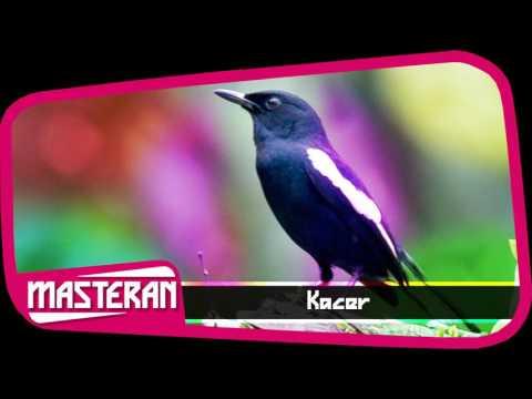 KICAU BURUNG | Masteran Suara Burung Kacer Terbaik Vol 30