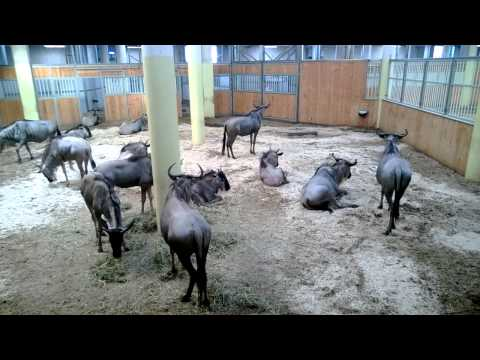 Indoor wildebeest housing at Royal Burgers' Zoo.