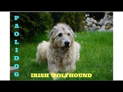 IRISH WOLFHOUND   TOP 10 INTERESTING FACTS