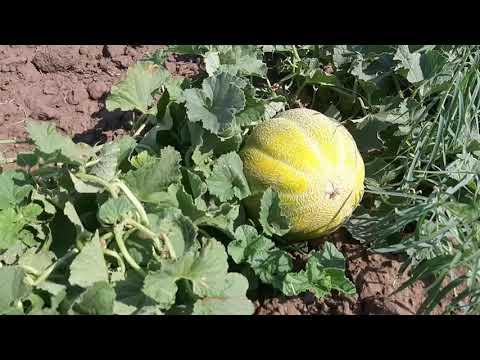 Арбуз сорт  каристан урожай 2020.