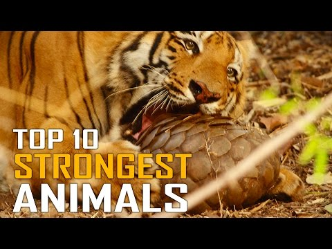 Top 10 Strongest Animals On Land