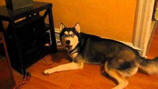Husky Throwing a Temper Tantrum Wants His Bone.wmv