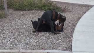 Doberman - Pinscher Puppies - European - Full Akc Registration