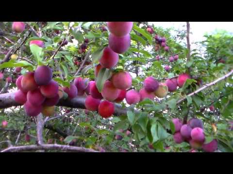 Алыча Лама: описание и характеристика сорта, достоинства и