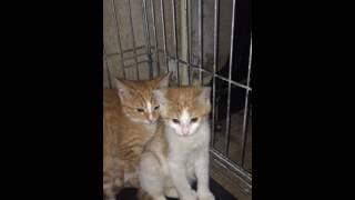 Котята - рыжики  в дар