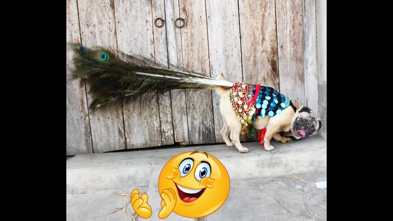 PUG or Peacock ??? very very funny pug video -pets plus