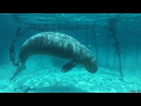 Dugong yang diikat di Morotai, Maluku Utara dilepaskan