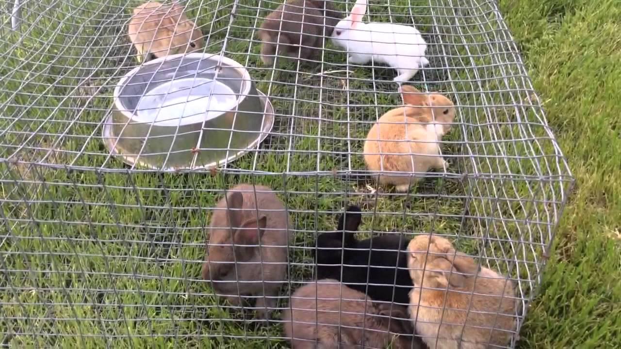 Baby Bunnies- New Zealand, Californian, American Blue