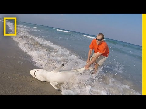 watch:-man-straddles-shark-on-beach-to-save-it- -national-geographic