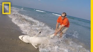 Watch  Man Straddles Shark On Beach to Save It | National Geographic