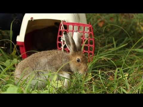 Вопрос: Чем питаются зайцы в зимнем лесу?