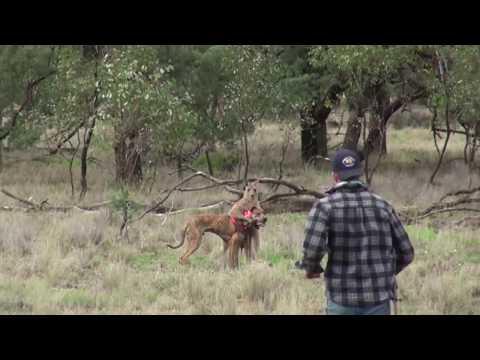 Kanguru Adamdan Yediği Yumruk Darbesi İle Olduğu Yerde Donup Kalıyor...