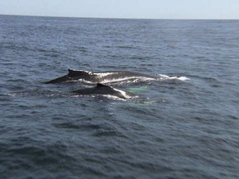 Humpback whales return in big numbers to Atlantic coast