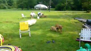 Dogue De Bordeaux And Puggle At The Lake 5