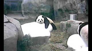 海洋公園:貓熊(大熊貓) Panda at Ocean Park
