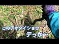 【ツチノコ探索記03】 巨大アオダイショウ&スズメバチと死闘+おまけ 【蛇捕獲】
